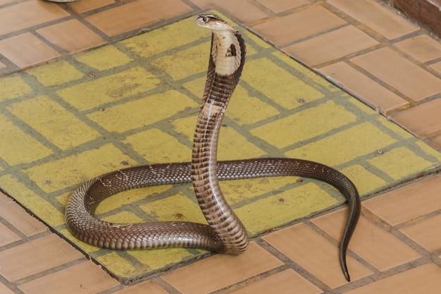 コブラは床の上にあります中型のヘビです1つの深刻な毒があります。 Premium写真