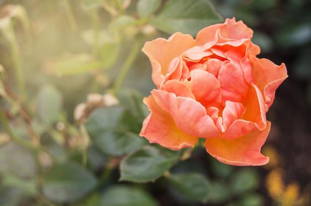 コーラルピンク1個。バレンタインデーのロマンチックなバラの花。コピースペース Premium写真