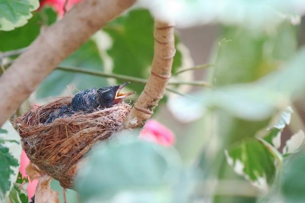 2匹のオリエンタルmagpie-robinが巣の中で赤ちゃんを産み、両親からの食事を待っています。 Premium写真