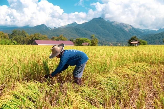 農家は暑い太陽の下で米を収穫しています:2018年10月25日、タイのナン Premium写真