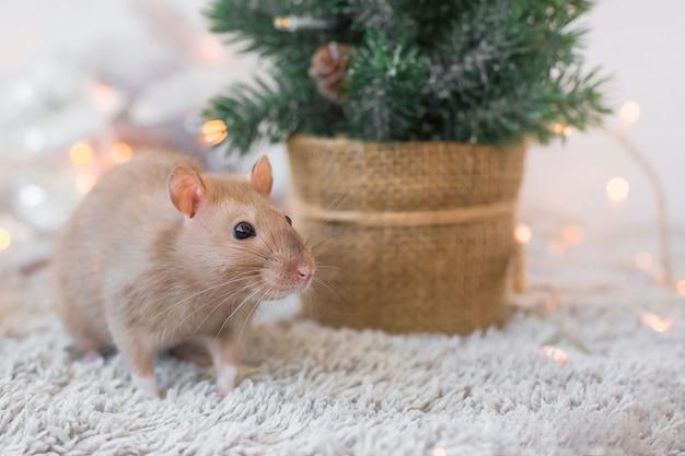 大きな口ひげを持つベージュの黄金の美しい面白い装飾的なネズミは、クリスマスの花輪、コピースペース、スペースを持つ新年2020年カードの空白で新年の休日の背景に毛皮に座っています。 Premium写真