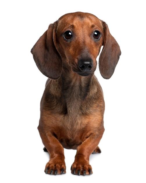 20ヶ月のダックスフント。分離された犬の肖像画 Premium写真