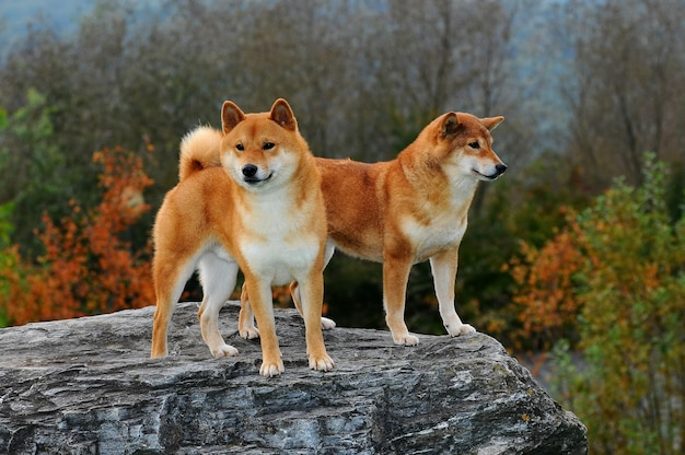2匹の柴犬の肖像 Premium写真