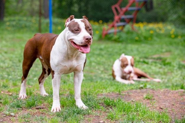 緑の芝生で屋外で一緒に遊ぶ2つのかわいい犬。 Premium写真