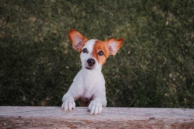 公園の芝生の上の2つの足に立っているかわいい小さなジャックラッセルテリアの肖像画 Premium写真