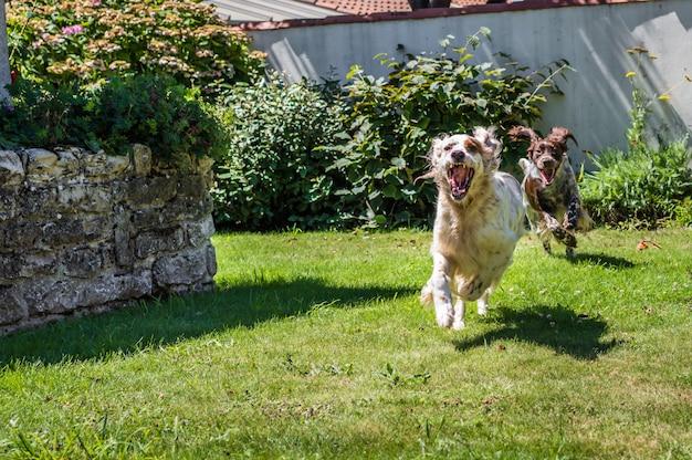 2匹の犬が裏庭の庭で走っています。 Premium写真
