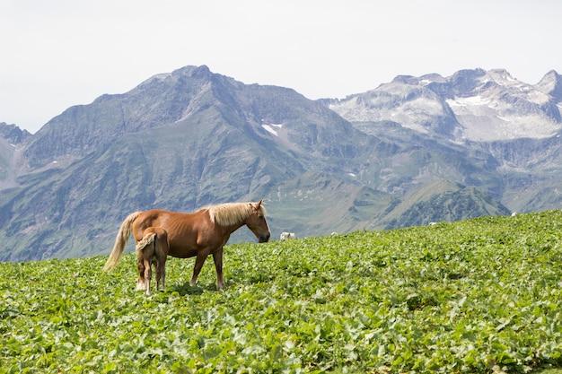スペインのピレネー山脈のバジェデアランで2頭の馬 Premium写真