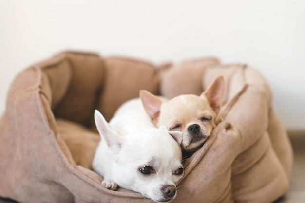 2 симпатичных, милых и красивых отечественных породы млекопитающих щенков чихуахуа друзья лежа, отдыхая в постели собаки. домашние животные отдыхают, спят вместе. пафосно-эмоциональный портрет. фото отца и дочери. Premium Фотографии