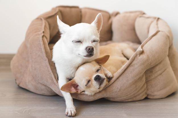 2 симпатичных, милых и красивых отечественных породы млекопитающих щенков чихуахуа друзья лежа, отдыхая в постели собаки. домашние животные отдыхают, спят вместе. пафосно-эмоциональный портрет. отец обнимает маленькую дочь Premium Фотографии