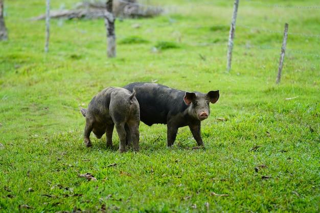 ドミニカ共和国で背景をぼかした写真の芝生のフィールドの上を歩く2つの野生の豚のクローズアップ 無料写真