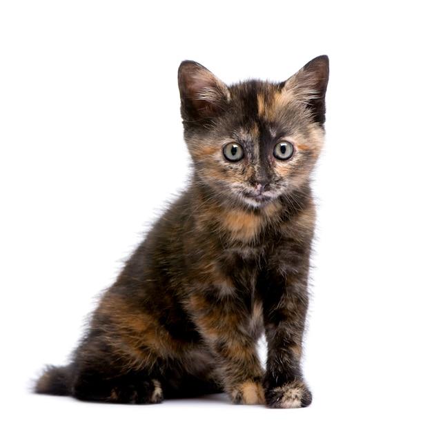 2ヶ月のべっ甲の子猫。 Premium写真