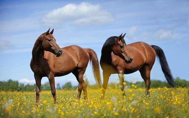 牧草地の2頭の馬 Premium写真