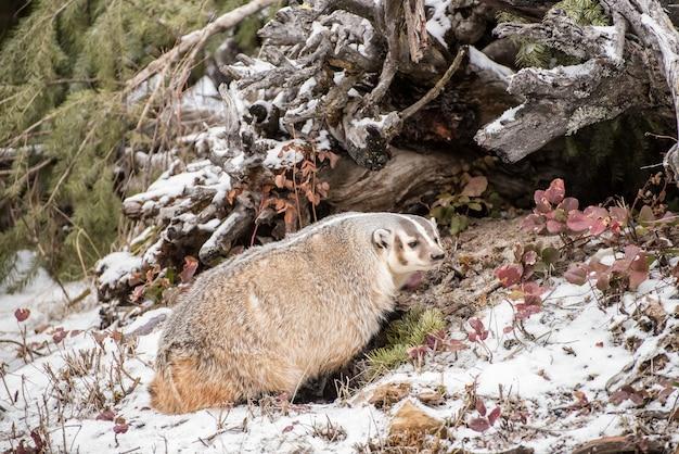 雪の北アメリカのアナグマ2 Premium写真