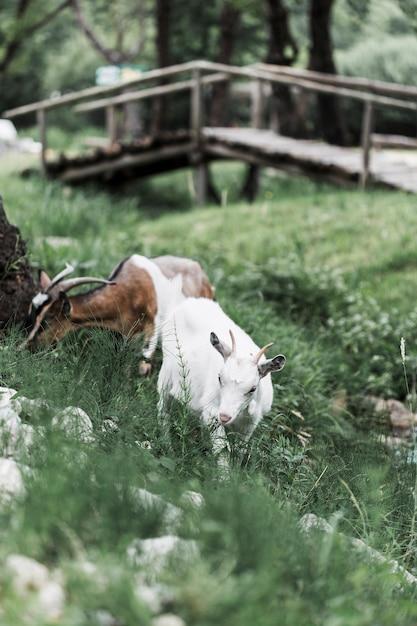 牧草地に放牧されている2頭のヤギ 無料写真