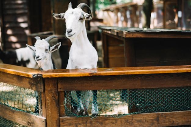 フェンスから2頭のヤギが覗き見 無料写真