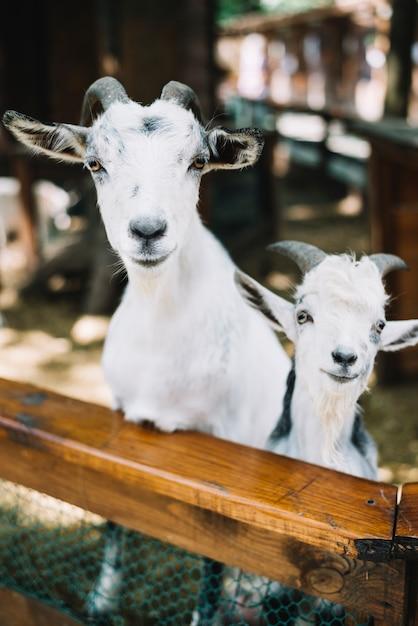 納屋の2頭のヤギの肖像 無料写真
