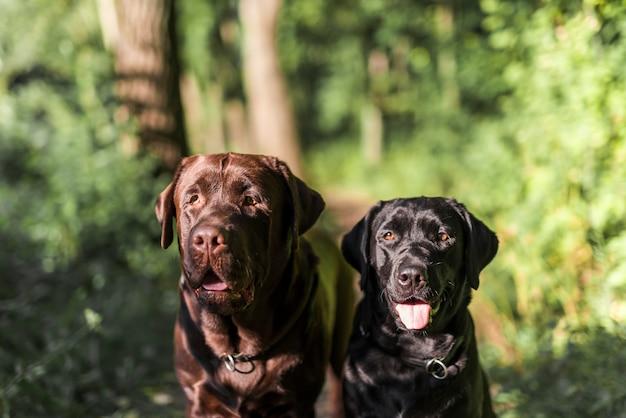 舌を突き出て2つの黒と茶色のラブラドールのクローズアップ 無料写真