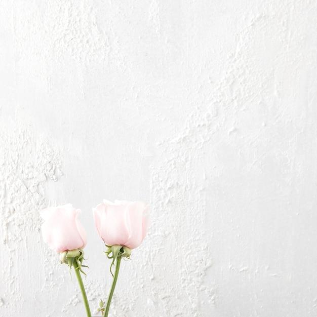 白い背景の上の2つのバラの花 無料写真