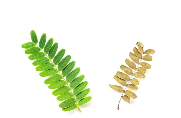 新鮮で乾燥した2つのタマリンドの葉。 Premium写真