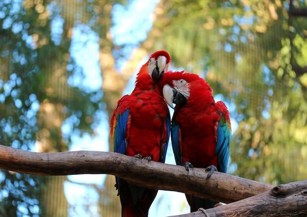 2匹の緋色のコンゴウインコが一緒にとまると、ブラジルの木にそのカップルを修復 Premium写真