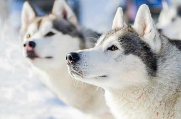 2つのシベリアンハスキー犬の屋外の顔の肖像画。そり犬は、寒い雪の天候でトレーニングを競います。そりとチームワークするための、強くてかわいい、速い純血種の犬。 Premium写真