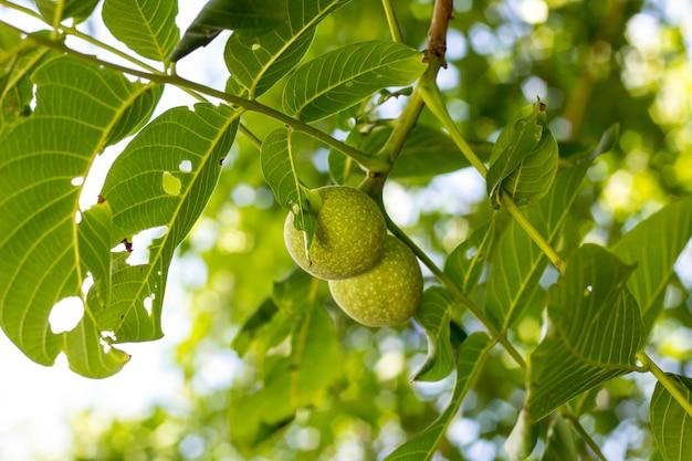 Зеленый грецкий орех 2 растя на конце ветви дерева вверх Premium Фотографии