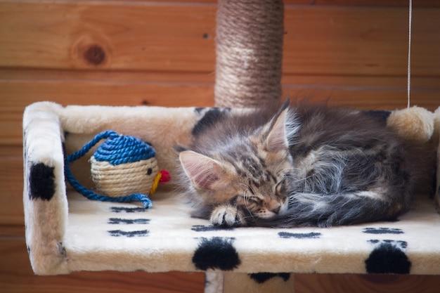 生まれたばかりの子猫メインクーンは、色のおもちゃの横にある家の2段目に寝ています Premium写真