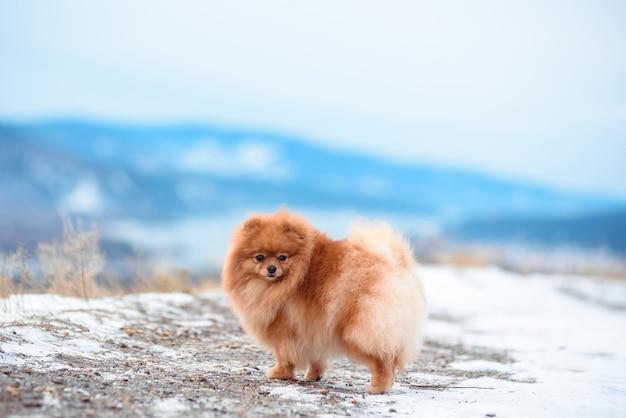 スピッツの品種の赤い色の2匹の犬が冬に山で遊ぶ。 Premium写真