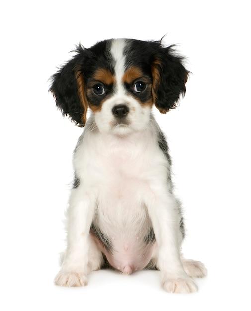 キャバリアキングチャールズスパニエル、3,5か月。分離された犬の肖像画 Premium写真