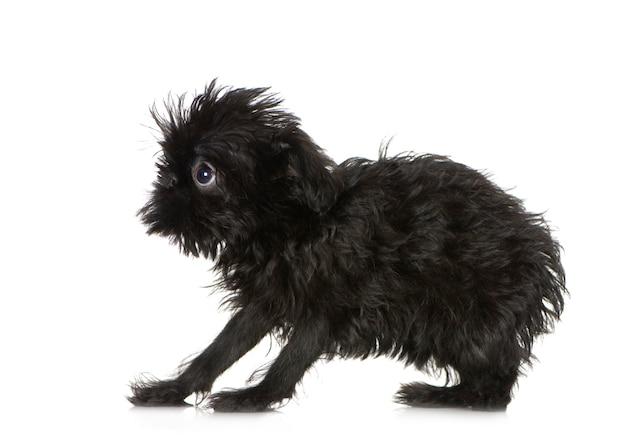 3か月のグリフォンbruxellois子犬。分離された犬の肖像画 Premium写真