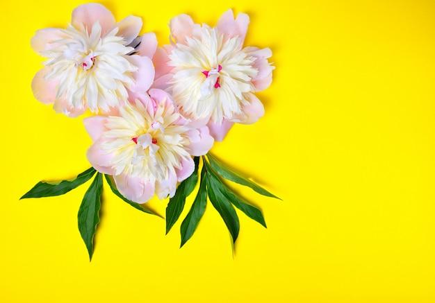 黄色の背景に3つのピンクの牡丹の花 Premium写真