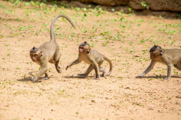 3匹のサルの赤ちゃんサルが土の部分を遊んで、お互いを追いかけています。 無料写真
