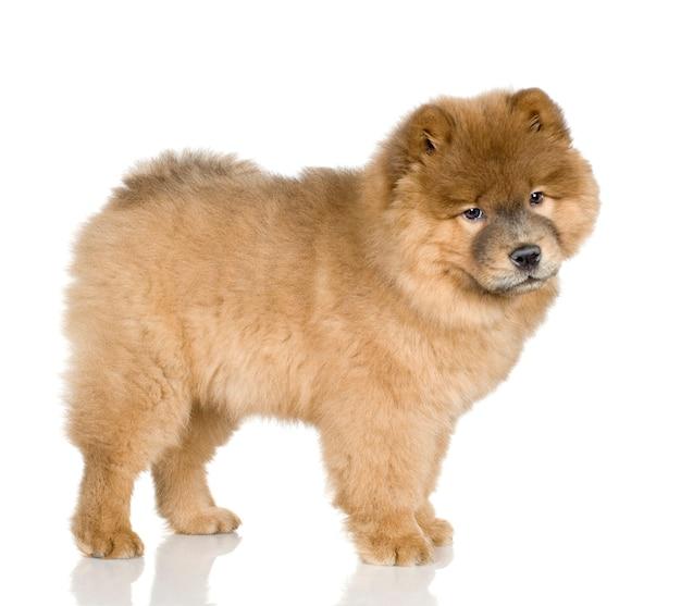 3か月の牛粉。分離された犬の肖像画 Premium写真