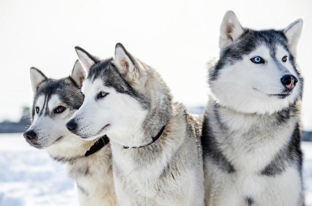 3匹のシベリアンハスキー犬が周りを見回しています。ハスキー犬は黒と白のコート色をしています。 Premium写真