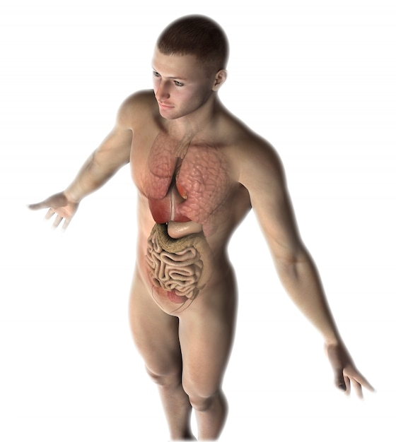 3d male figure with internal organs Free Photo