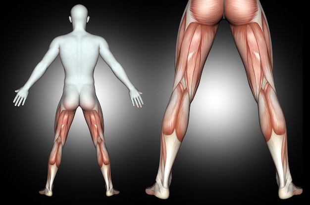 3d male medical figure with back of leg muscles highlighted Free Photo