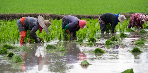 4 farmers are planting rice, transplant rice seedlings Premium Photo