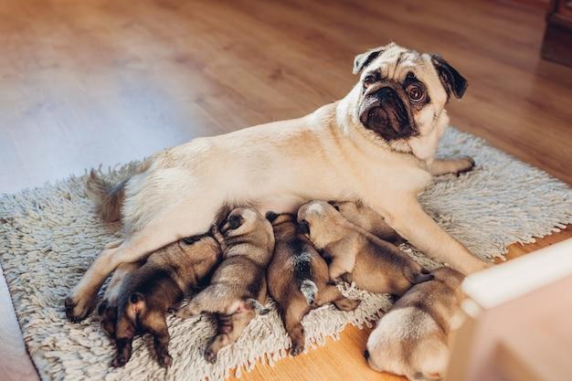 Мать собаки мопса подавая 6 щенят дома. собака лежит на ковре с детьми. время для семьи Premium Фотографии