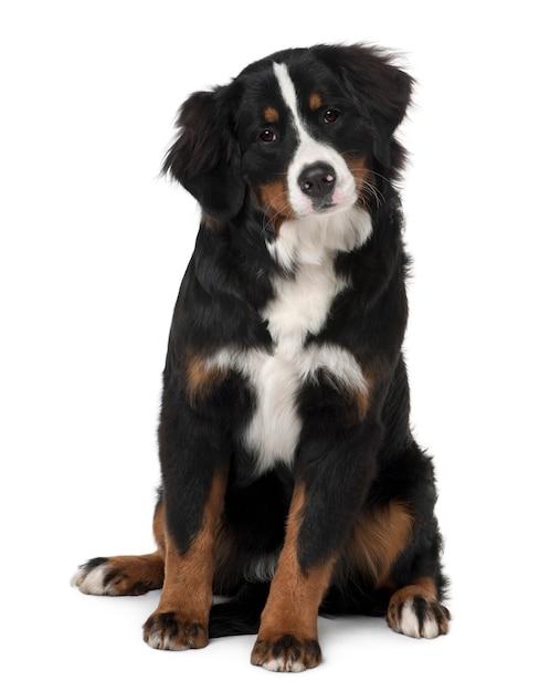 生後6ヶ月のバーニーズマウンテンドッグの子犬。分離された犬の肖像画 Premium写真