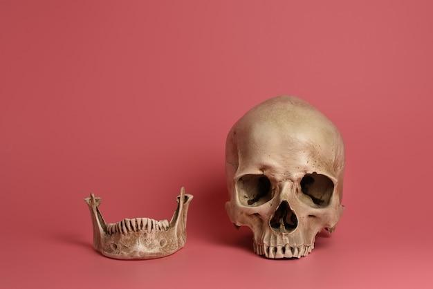 Череп с челюстью на розовом фоне Premium Фотографии