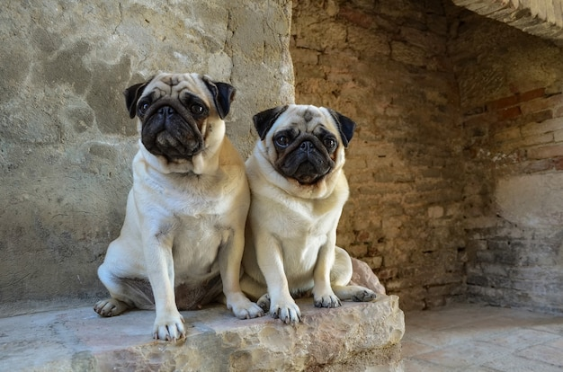 Портрет двух собак мопса. Premium Фотографии