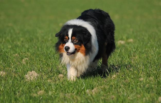 牧草地でオーストラリアの羊飼いの犬 Premium写真