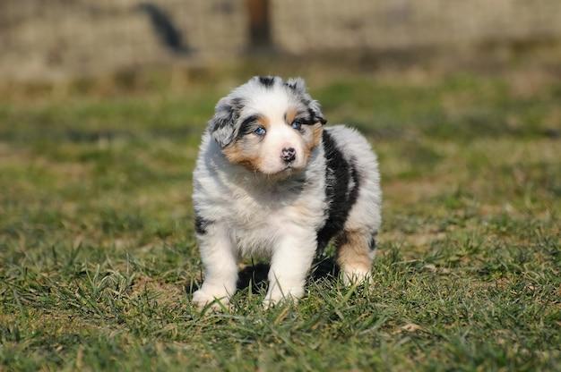 オーストラリアンシェパードの犬の子犬 Premium写真