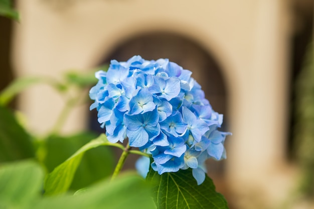 美しい青いアジサイやオルテンシアの花 Premium写真