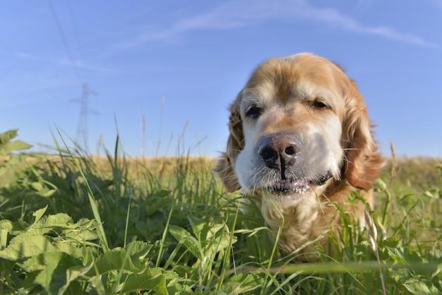 フィールドで草を食べて犬ゴールデンレトリーバーの面白い肖像画に近い Premium写真