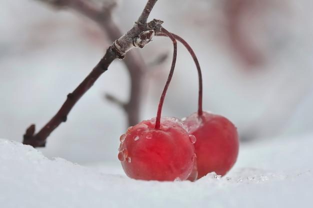 雪の上の赤い果実 Premium写真