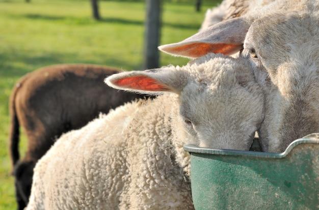 羊の頭を飲む Premium写真