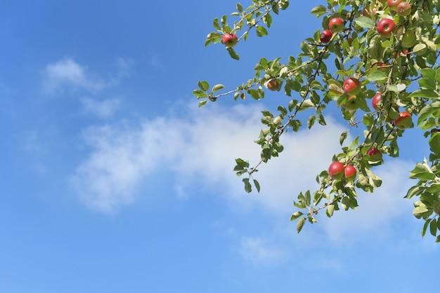 Ветка яблони с красными плодами, растущими на фоне голубого неба Premium Фотографии