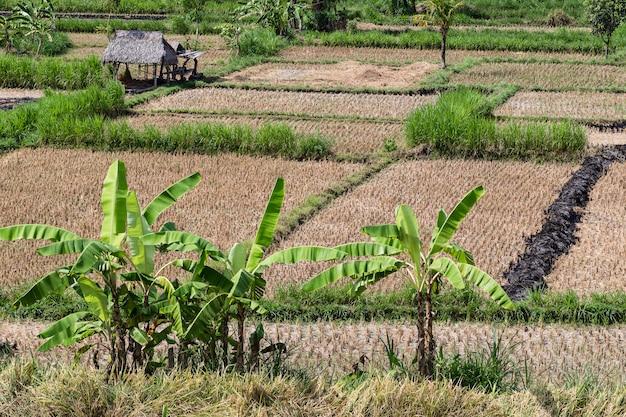 収穫後の田んぼの眺め。バリ。 Premium写真
