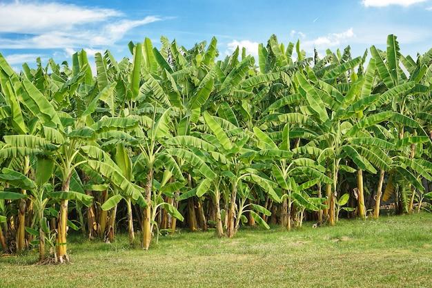 庭の緑の野原と太陽の光と青い空とバナナの木のプランテーション。 Premium写真